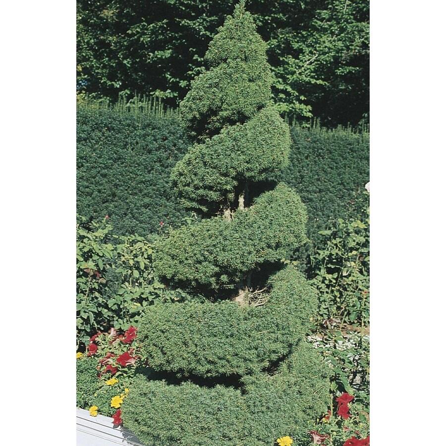 1.6-Gallon Spiral Dwarf Alberta Spruce Feature Tree (L7230)