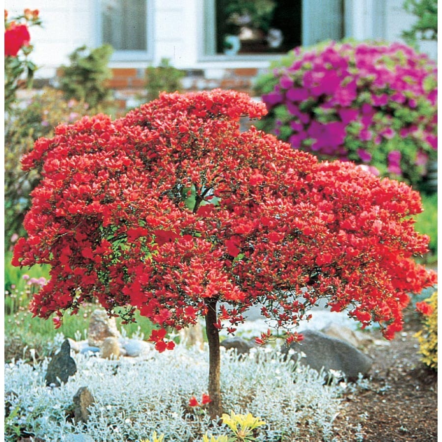 11.1-Gallon Mixed Tree Azalea Flowering Shrub (L7297)