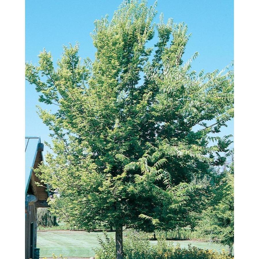 11.1-Gallon Common Hackberry Shade Tree (L12013)
