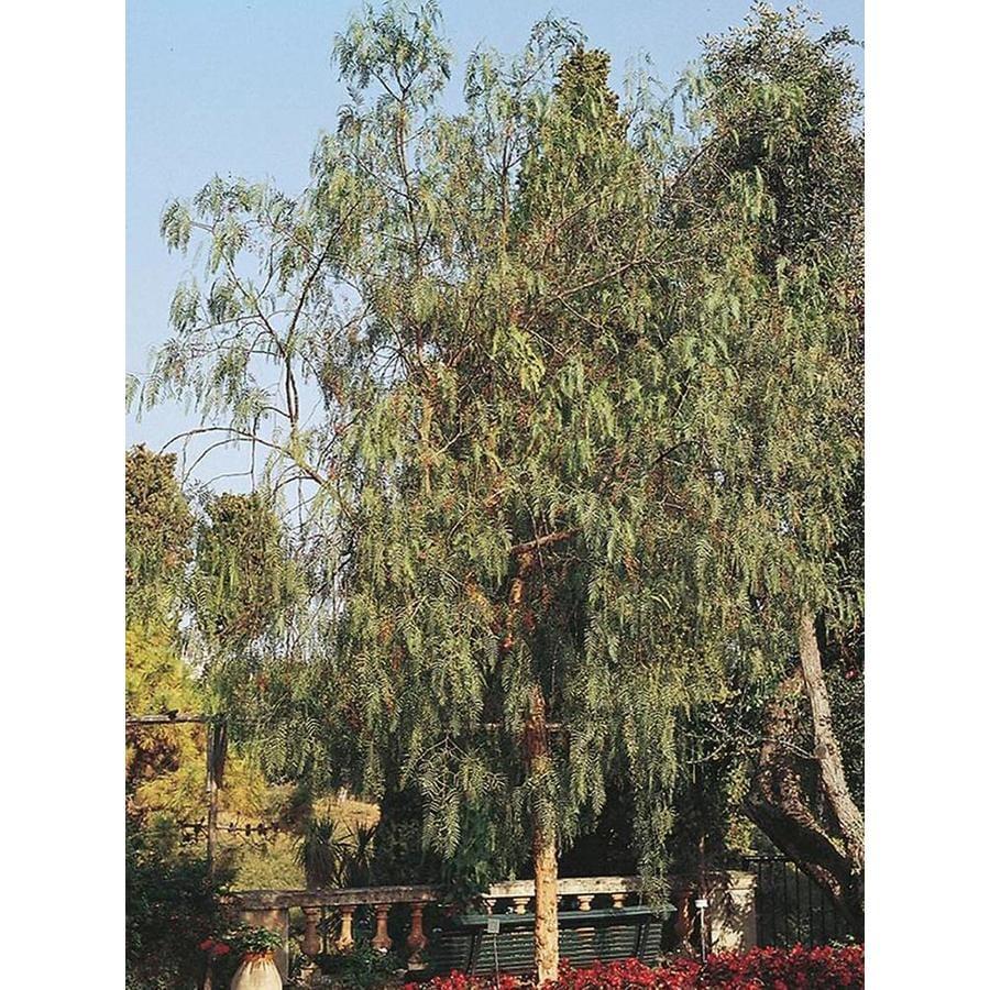 Village Nurseries 28.5-Gallon California Pepper Shade Tree (L9429)