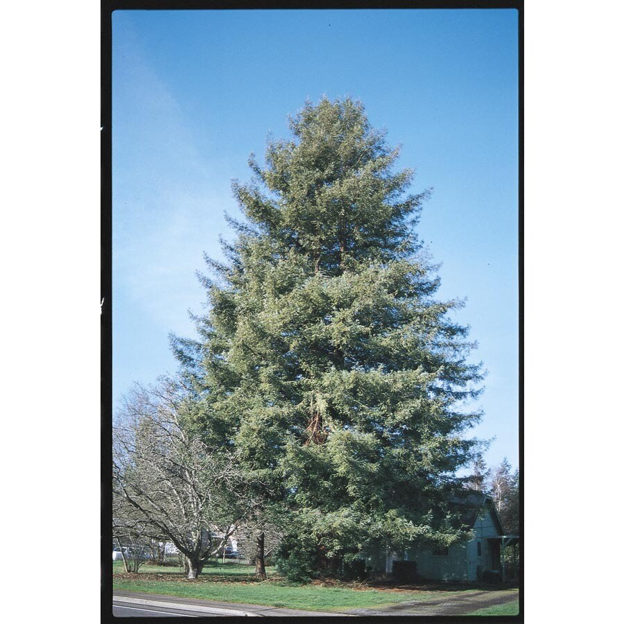 Village Nurseries 3.25-Gallon Coast Redwood Feature Tree (L23063)