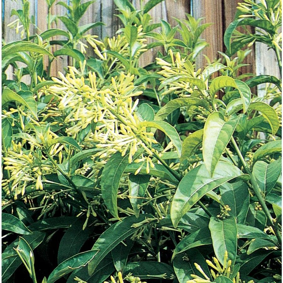2.84-Quart Night Blooming Jasmine (L7495)