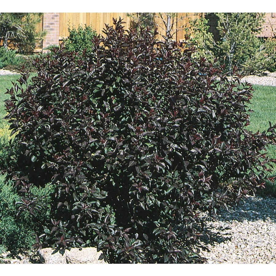 Village Nurseries 3.25-Gallon Pink Sand Cherry Feature Shrub (L9311)