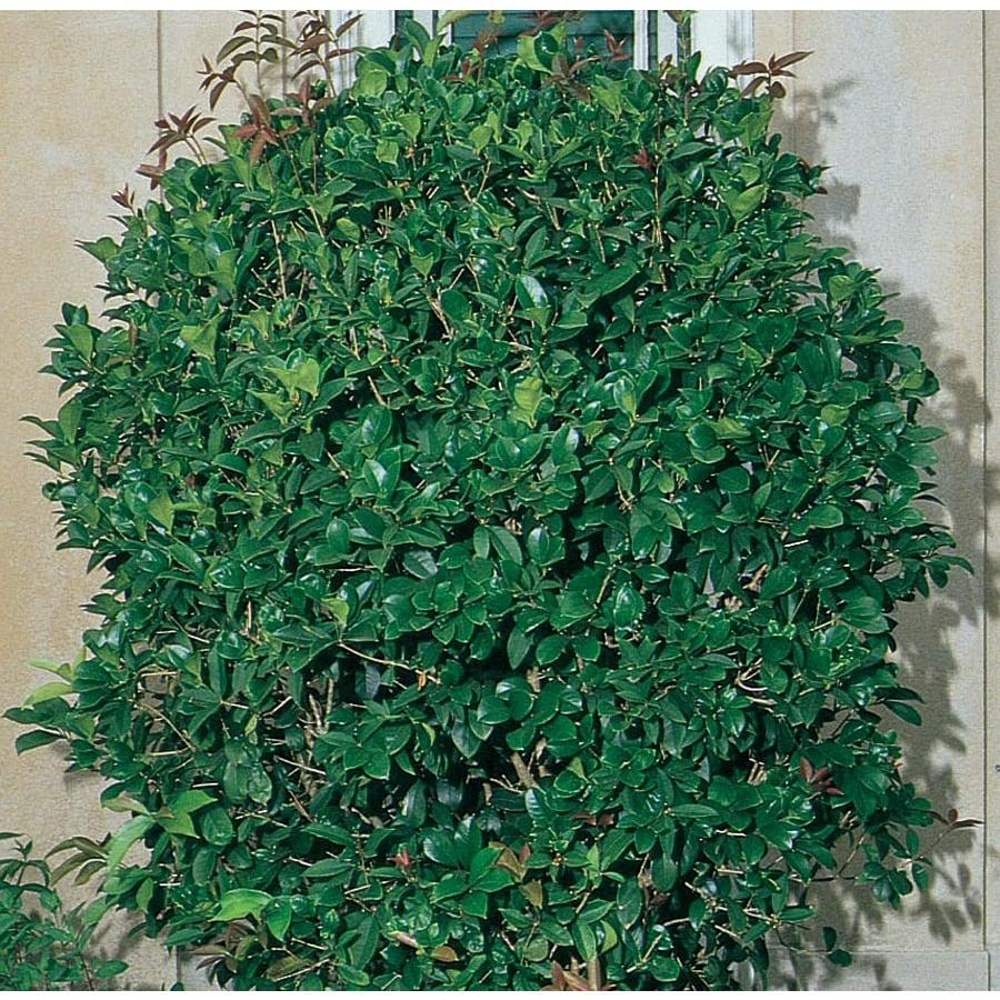 Shop white fragrant tea olive screening shrub for Plants and shrubs