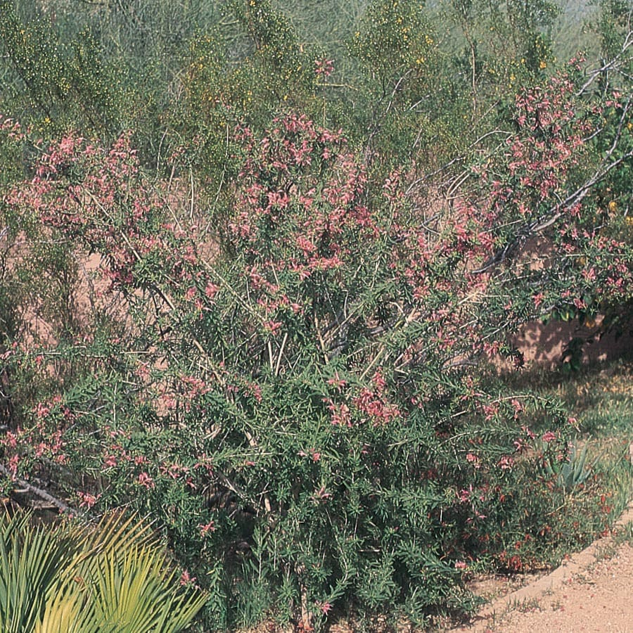 3.58-Gallon Mixed Common Emu Bush Accent Shrub (LW00075)