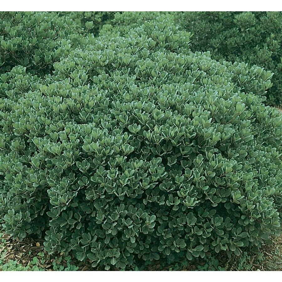 3.25-Gallon White Dwarf Yedda Indian Hawthorn Flowering Shrub (L6220)