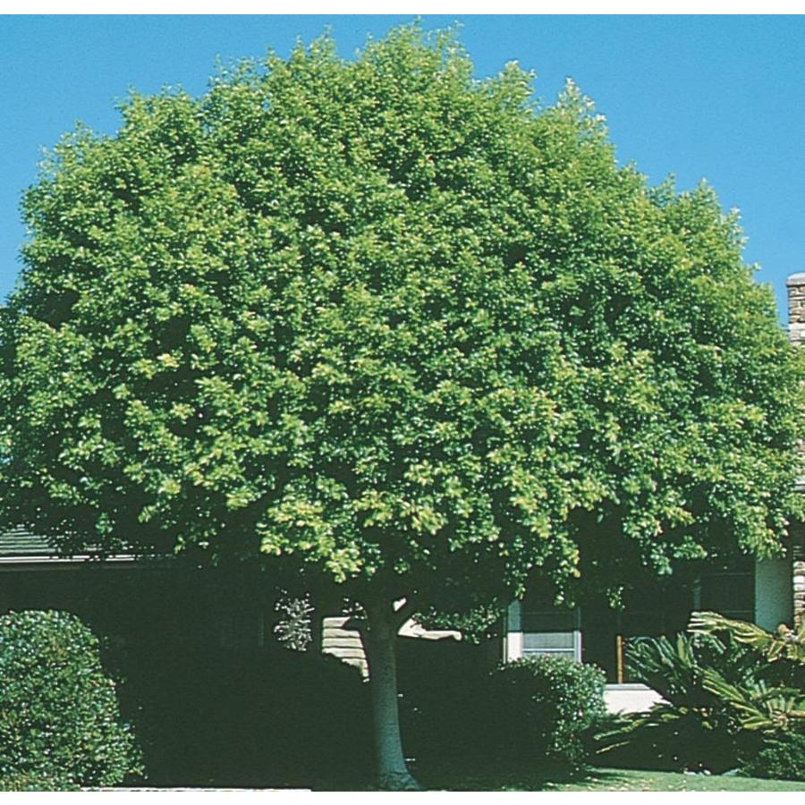 11.1-Gallon Indian Laurel Tree Feature Tree (L14192)