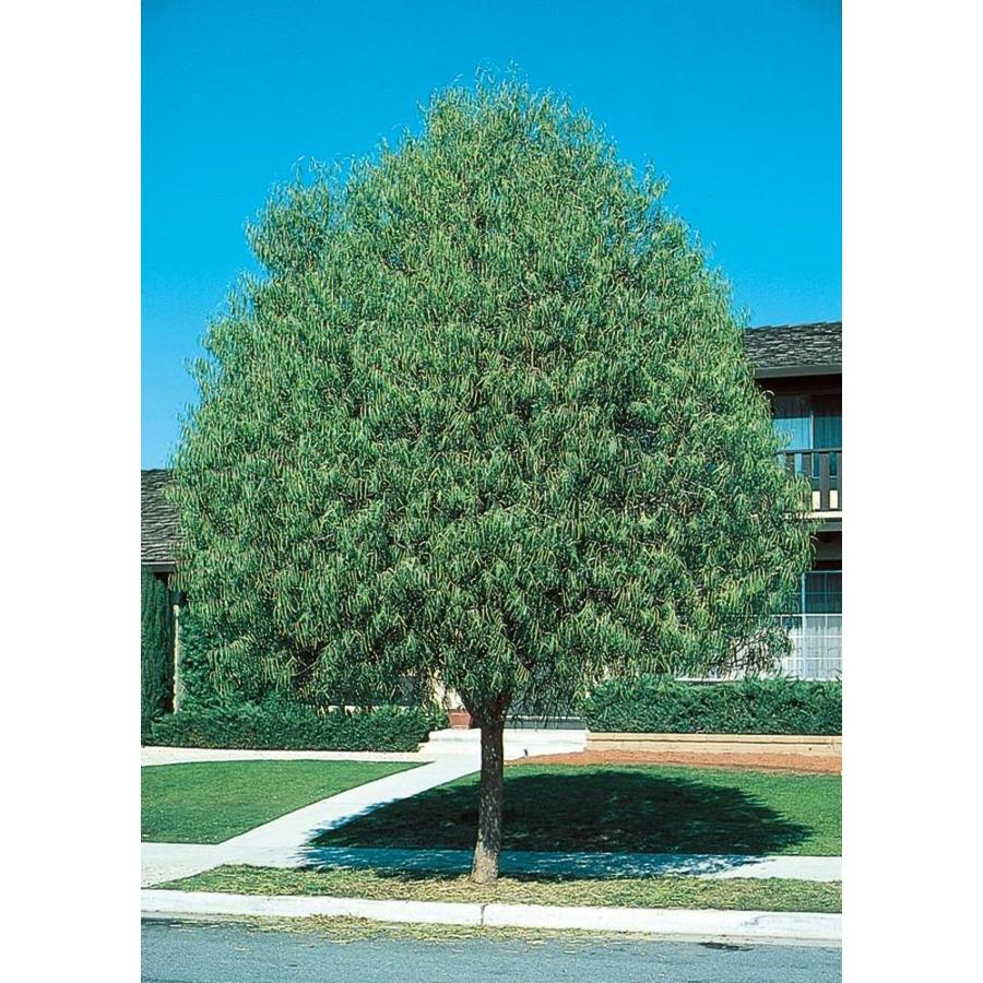 Shop 11 1 gallon australian willow shade tree l9406 at lowes com