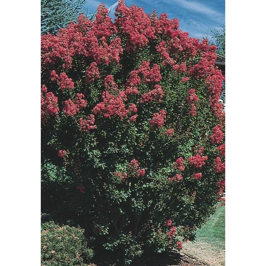 11.1-Gallon Crape Myrtle Flowering Tree (L6644)