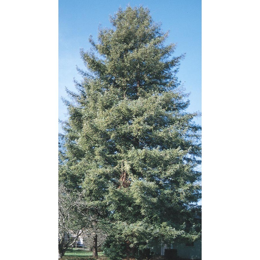 11.1-Gallon Coast Redwood Feature Tree (L23063)
