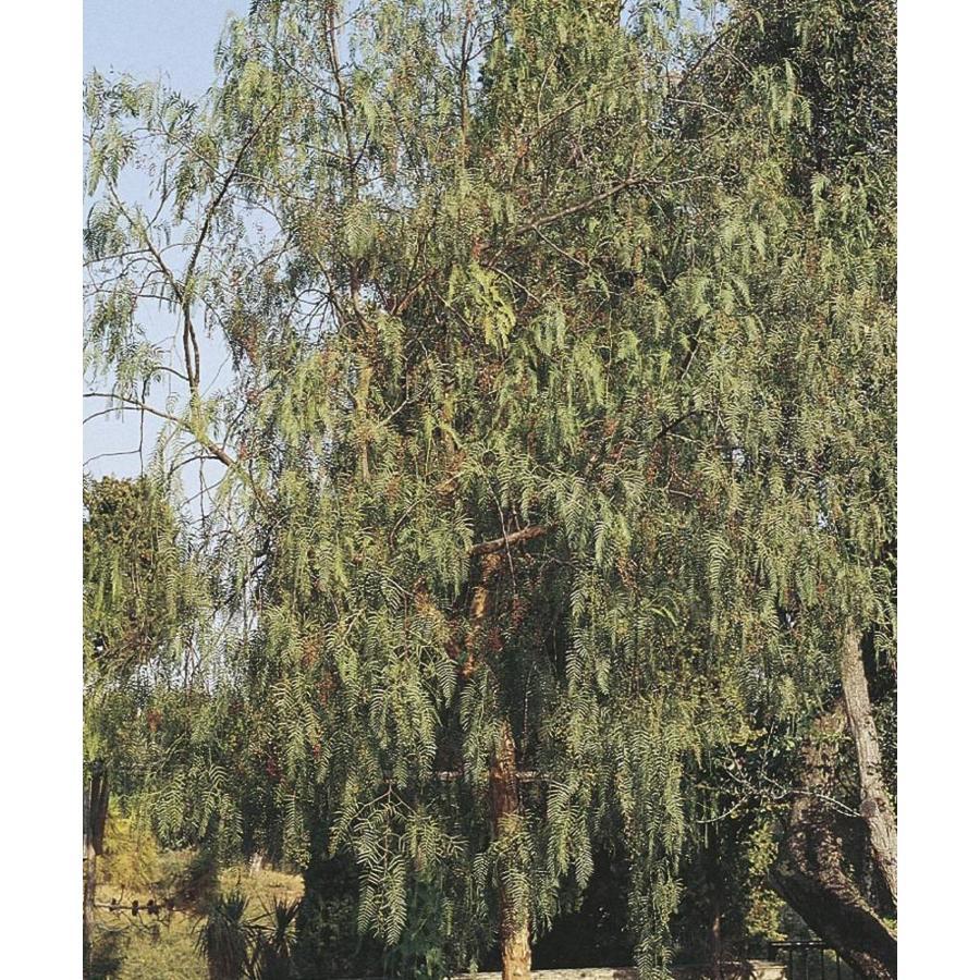 11.1-Gallon California Pepper Shade Tree (L9429)