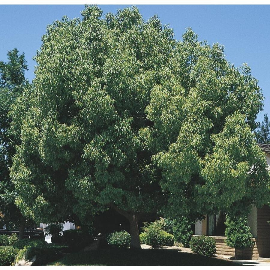 11.1-Gallon Camphor Tree Feature Tree (L9393)