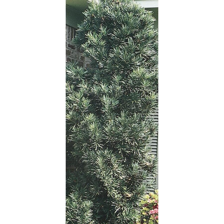 11.1-Gallon Japanese Yew Feature Shrub (L9927)