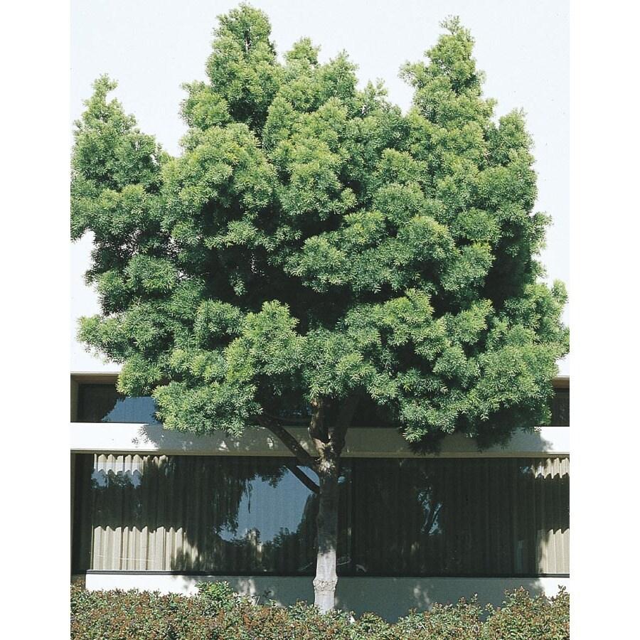 11.1-Gallon Fern Pine Feature Tree (L5127)