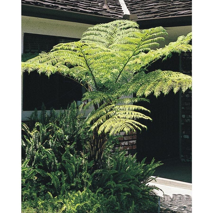2.84-Quart Australian Tree Fern (L11787)