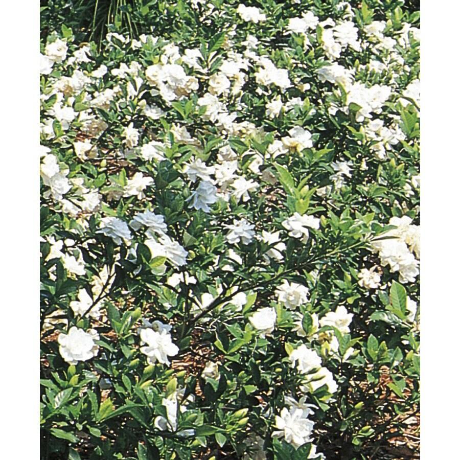 2.84-Quart White Gardenia Flowering Shrub (L5150)
