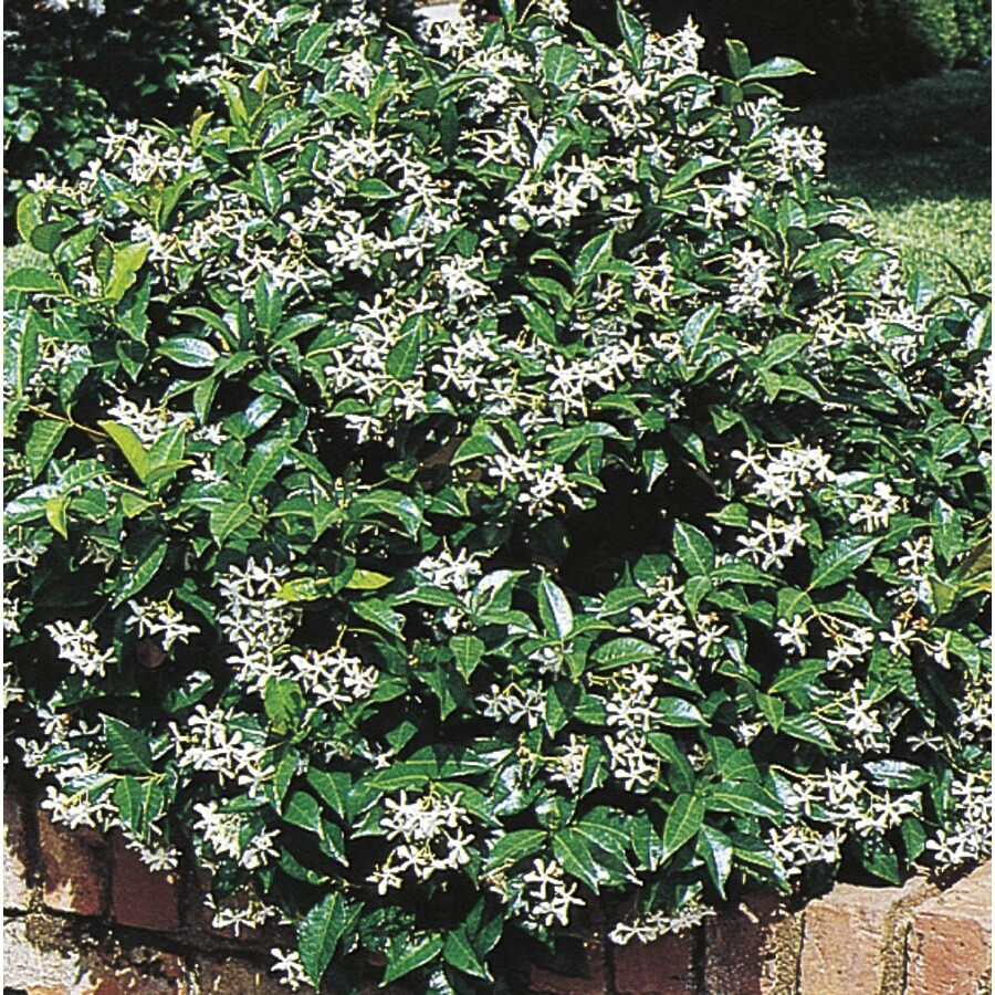 Shop 284 Quart White Confederate Star Jasmine Flowering