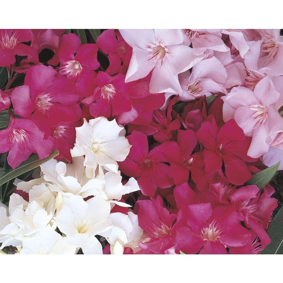 2.84-Quart Mixed Oleander Flowering Shrub (L0056)