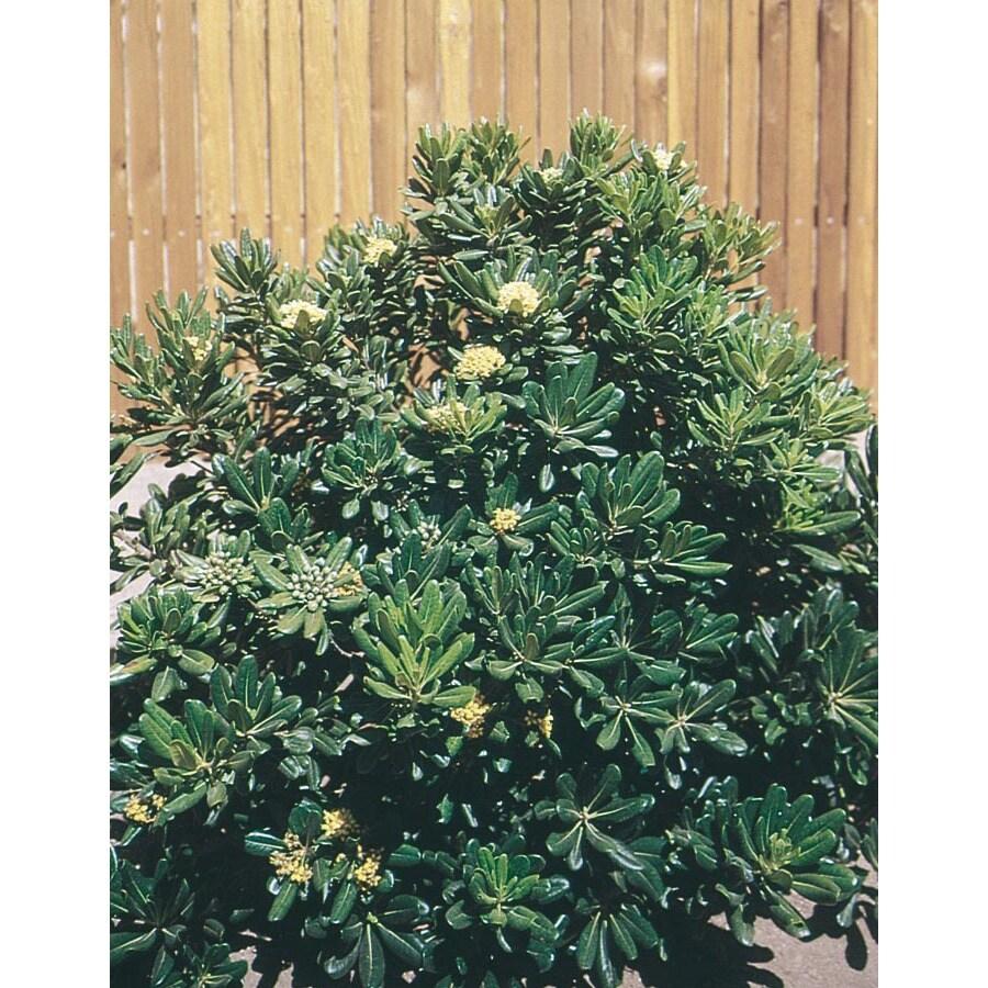 2.84-Quart White Green Pittosporum Foundation/Hedge Shrub (L10905)