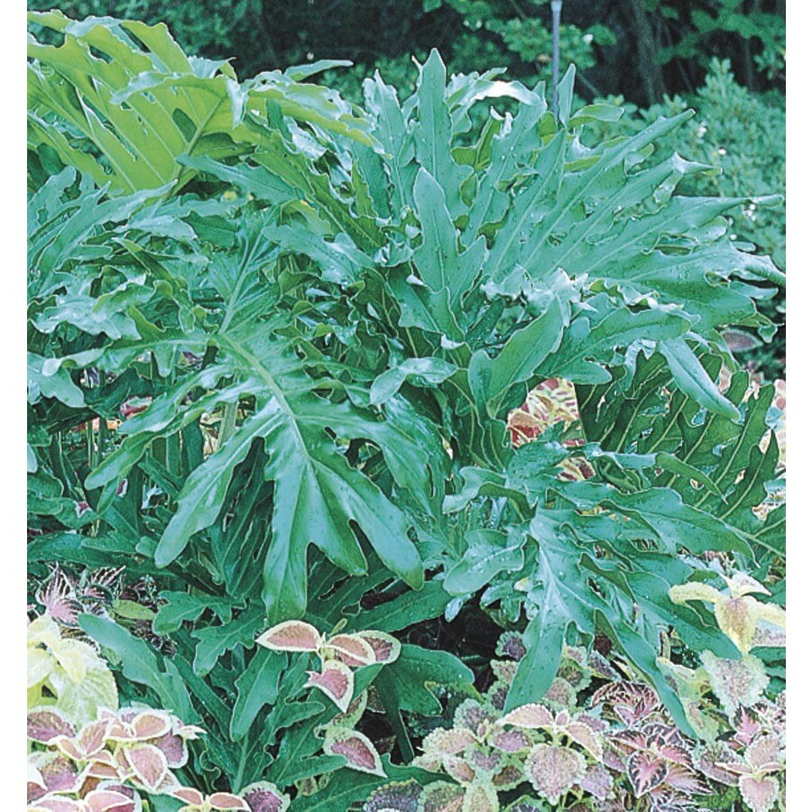 2.84-Quart Big Leaf Philodendron (L5793)