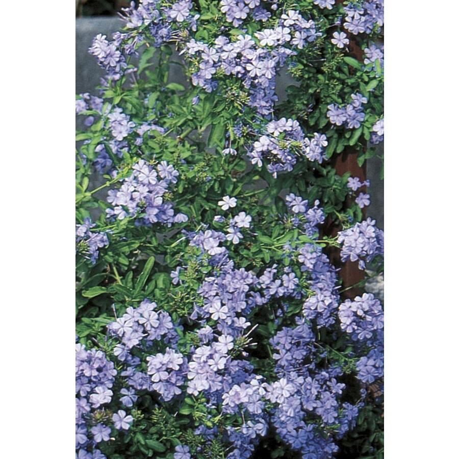 2.84-Quart Blue Blue Plumbago Flowering Shrub (L3623)