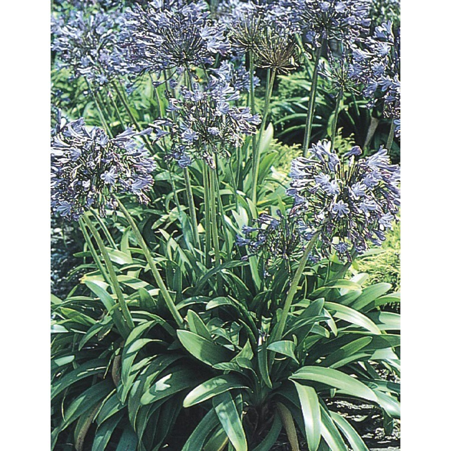2.84-Quart Queen Anne Lily Of The Nile (L6254)