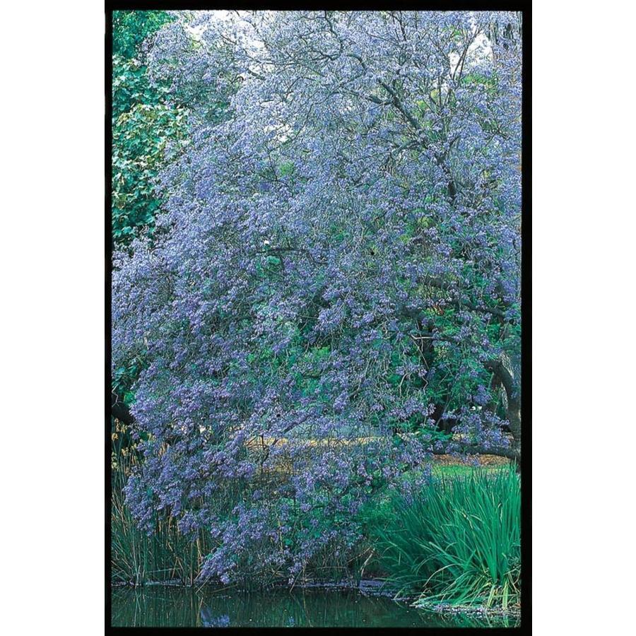 28.6-Gallon Jacaranda Tree Feature Tree (L3971)