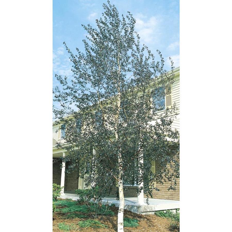 11.1-Gallon Single Trunk European White Birch Feature Tree (L8444)