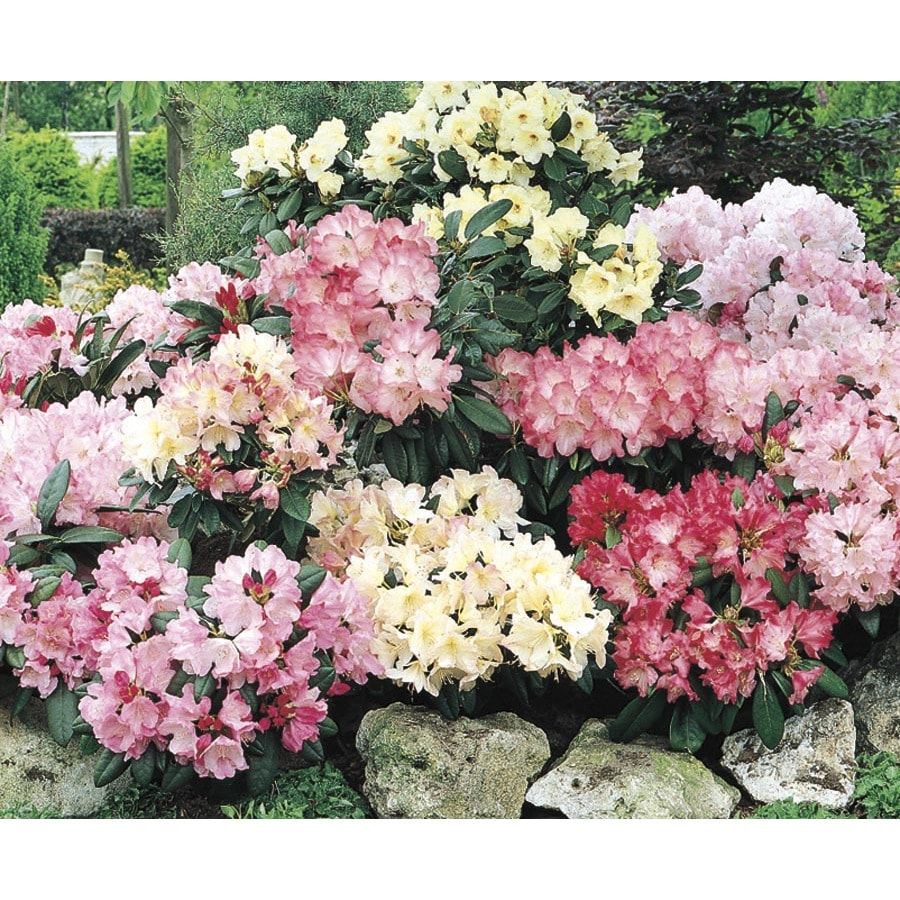 1.7-Gallon Mixed Rhododendron Flowering Shrub (L5420)