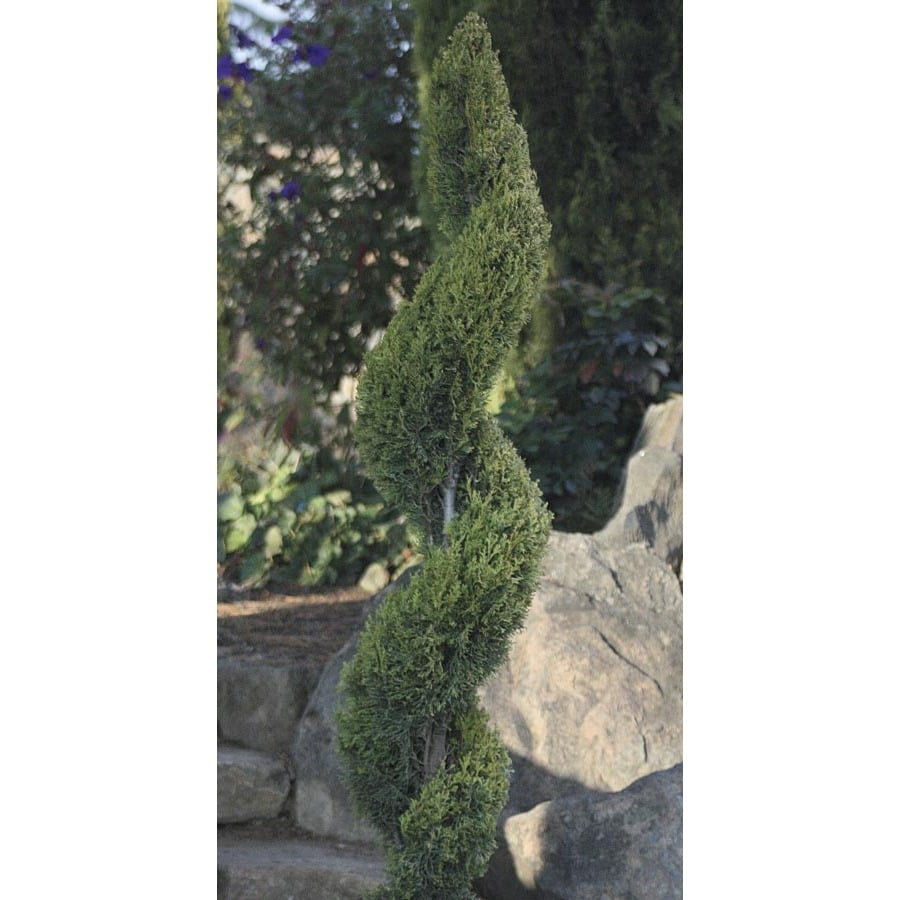 11.1-Gallon Spiral Italian Cypress Feature Tree (L24762)