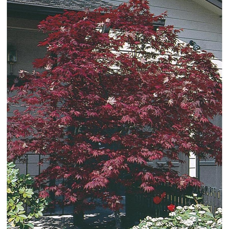 11.1-Gallon Assorted Upright Japanese Maple Feature Tree (L5413)