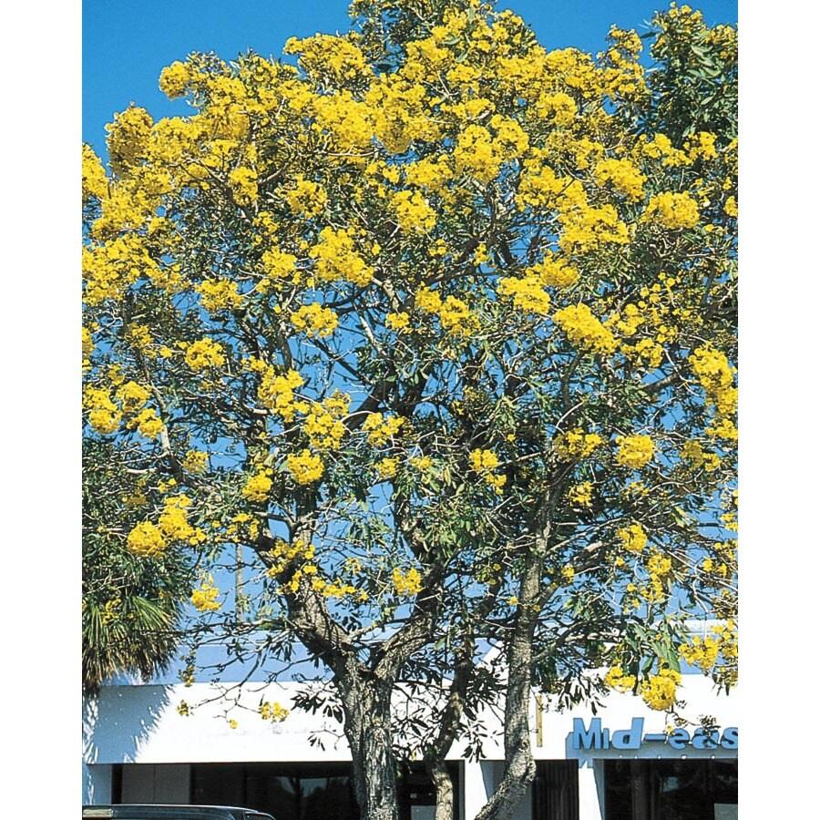 11.1-Gallon Tree Of Gold Shade Tree (L10453)