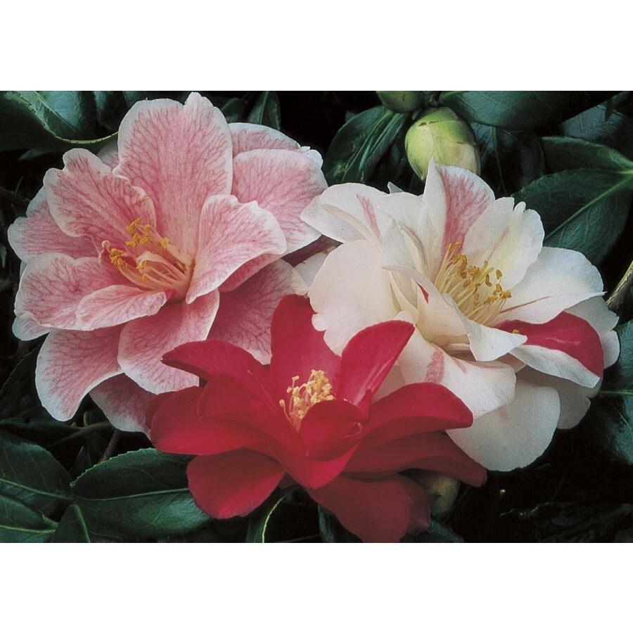 2.5-Gallon Mixed Sasanqua Camellia Flowering Shrub (L5699)