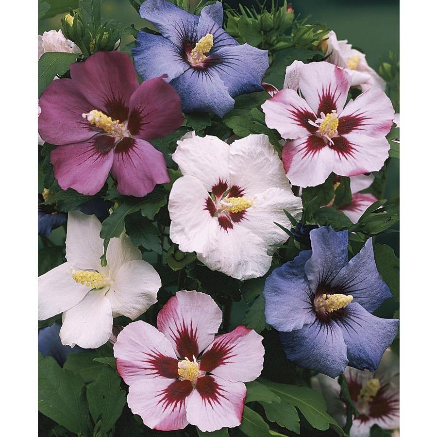 2.84-Quart Mixed Rose of Sharon Flowering Shrub (L1203)