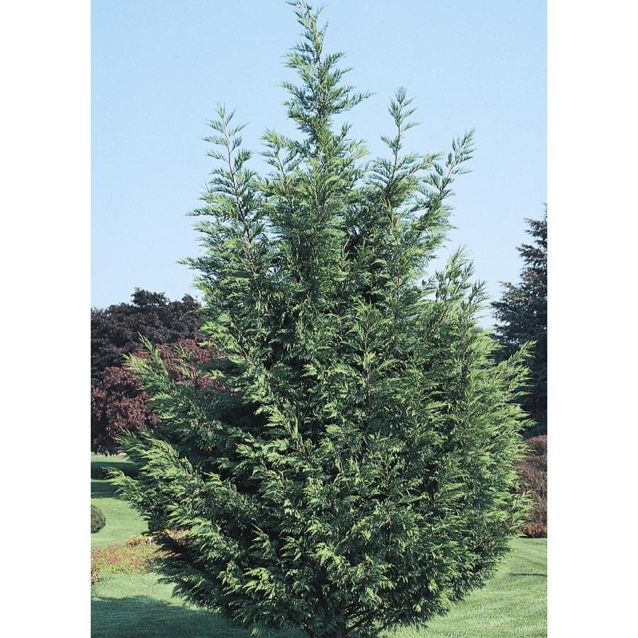 2.84-Quart Leyland Cypress Screening Tree (L3153)
