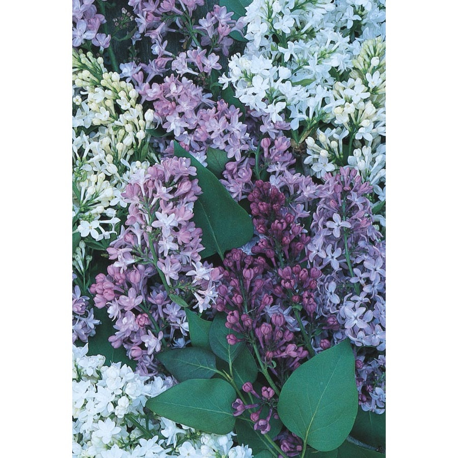 2.84-Quart Mixed Lilac Flowering Shrub (L11994)