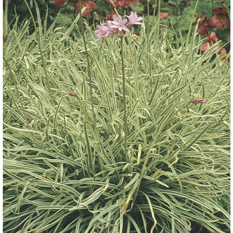 2.84-Quart Silver Lace Society Garlic (L11778)