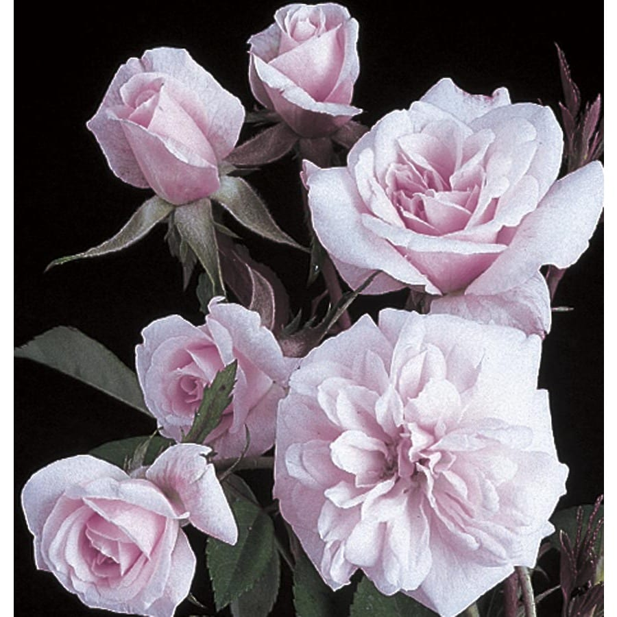 3.25-Gallon Cecile Brunner Climbing Rose (L23768)