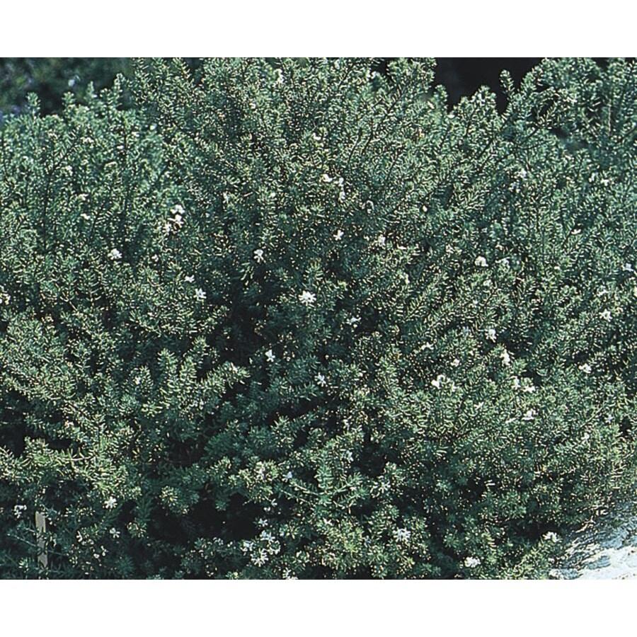 3.25-Gallon White Westringia Flowering Shrub (L22814)