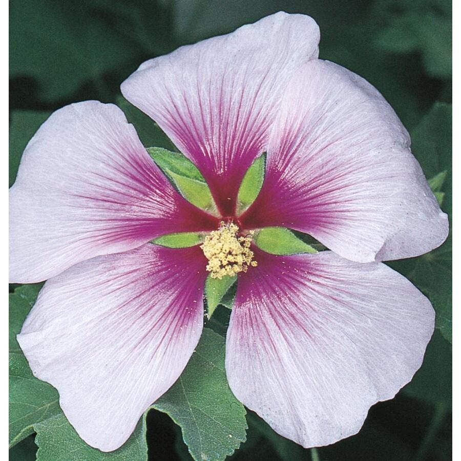 2.84-Quart Bicolor Tree Mallow Flowering Shrub (L11741)