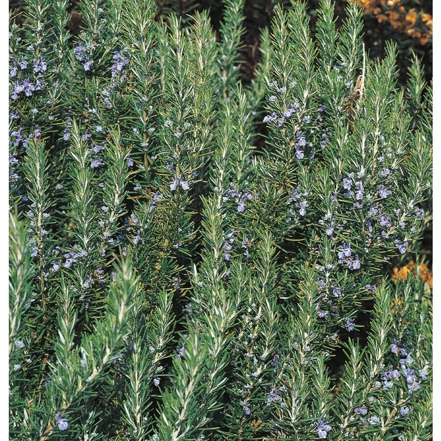 3.25-Gallon Blue Tuscan Blue Rosemary Accent Shrub (L5795)