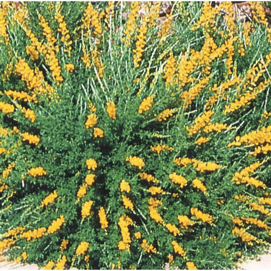 1.7-Gallon Orange Sweet Broom Accent Shrub (L3064)