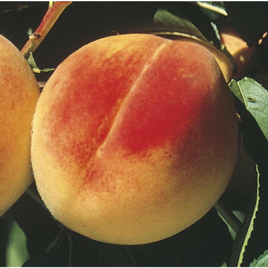 3.25-Gallon Early ELBerta Ultra-Dwarf Peach Tree (L22675)