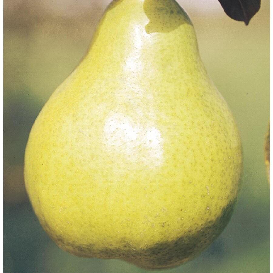 3.25-Gallon Bartlett Ultra-Dwarf Pear Tree (L22683)