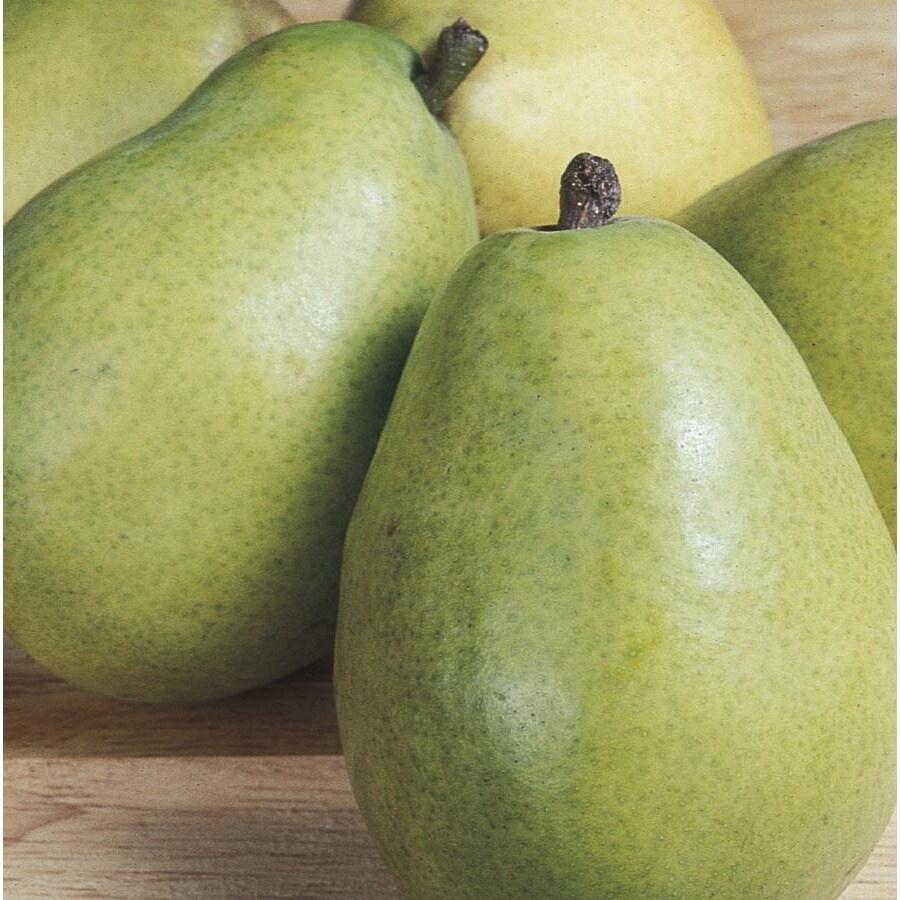 3.25-Gallon DAnjou Ultra-Dwarf Pear Tree (L22684)