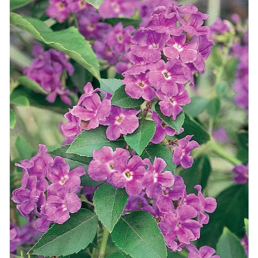 11.1-Gallon Lavender Golden Dew Drops Flowering Shrub (L7051)
