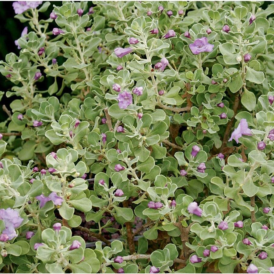 2.6-Quart Lavender Lynn's Legacy Sage Flowering Shrub (L23608)