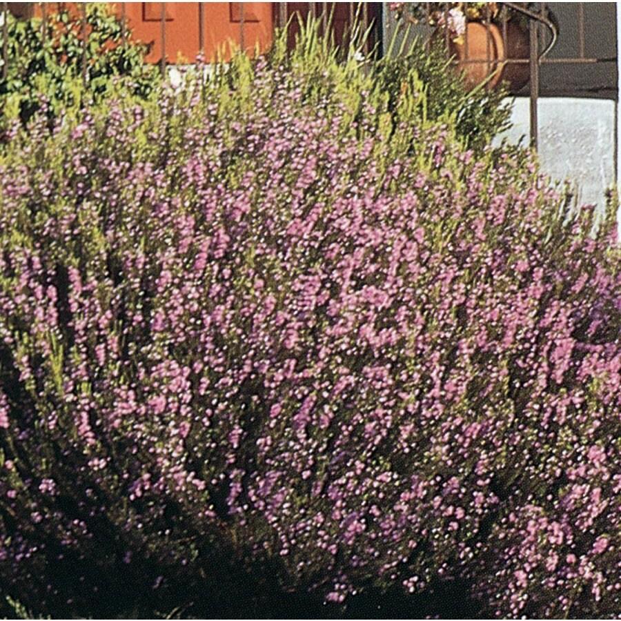2.5-Quart Pink Pink Breath of Heaven Flowering Shrub (L3084)