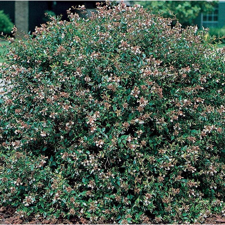 3.58-Gallon Pink Glossy Abelia Flowering Shrub (L3834)