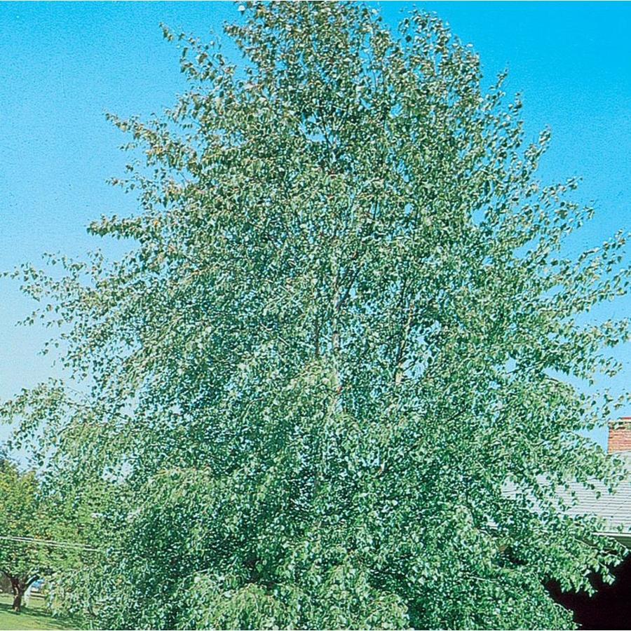 3.58-Gallon European White Birch Clump Feature Tree (L3178)